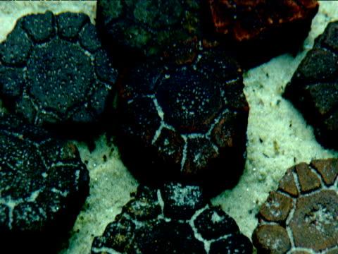 vídeos de stock, filmes e b-roll de fossil glyptodon scutes on lagoon bed, florida - parte do corpo animal