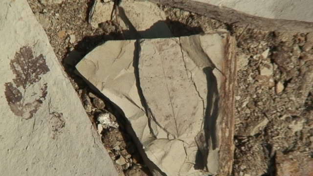 Fossil leafs