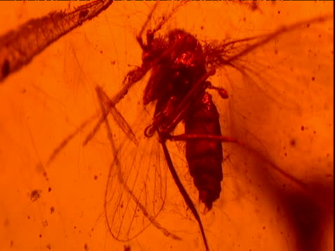 Fossilized fly preserved in amber