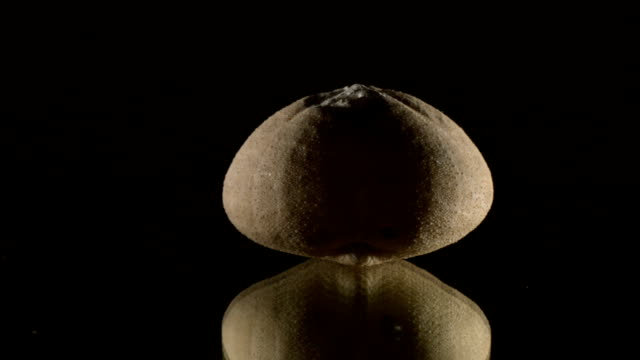 fossilized sea urchin turning on black - stone object stock videos and b-roll footage