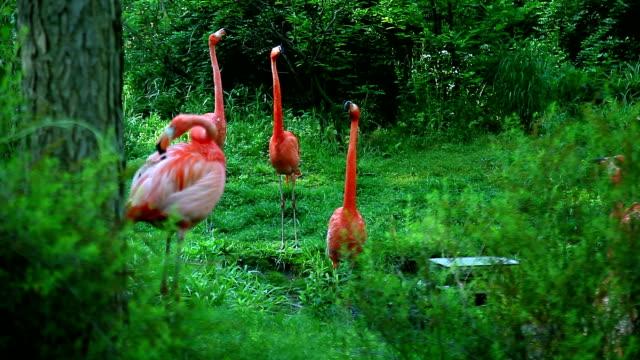 vier american flamingo im wald - flamingo stock-videos und b-roll-filmmaterial