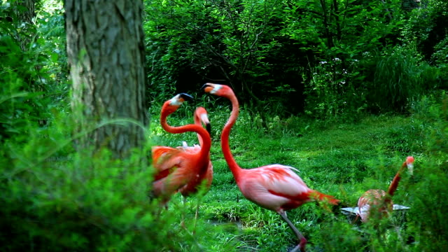 Four American flamingo in the forest