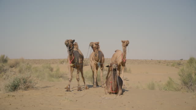 four camels facing the camera standing in the desert - ラクダ点の映像素材/bロール