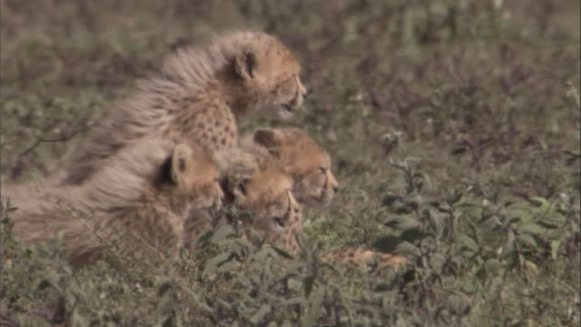 Four cheetah cubs sit and watch intently. Available in HD.