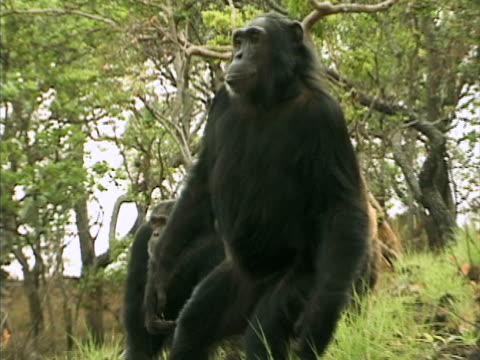 vidéos et rushes de ms, four chimps (pan troglodytes) on grassy hillside, gombe stream national park, tanzania - chimpanzé