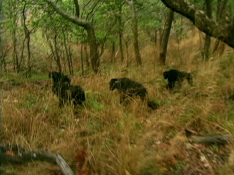 vidéos et rushes de ws, pan, four chimps (pan troglodytes) walking through forest, gombe stream national park, tanzania - chimpanzé
