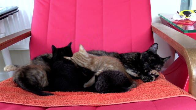 four cute kittens suckle and sleep with mother on red armchair - female animal stock videos & royalty-free footage