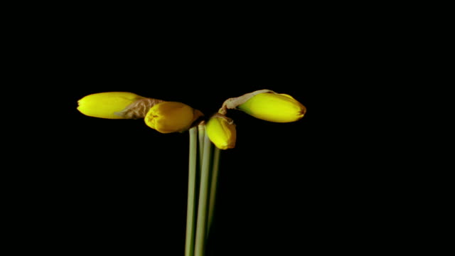 t/l, cu, four daffodils opening against black background  - daffodil stock videos and b-roll footage