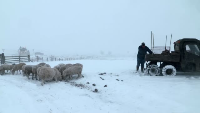 Four die in hazardous conditions as snow sweeps the country ENGLAND North Yorkshire EXT Wide shot sheep grazing in snow covered field Wide shot...