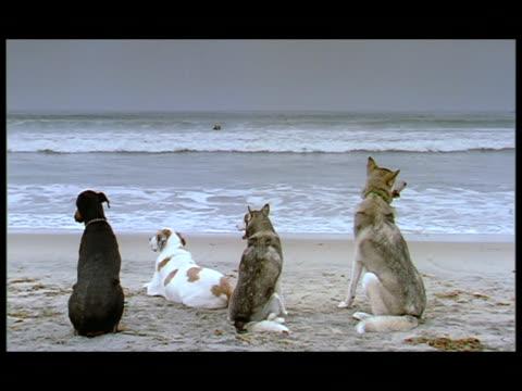 vidéos et rushes de ms, four dogs sitting on beach, facing ocean, rear view, usa - quatre animaux