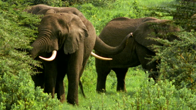 ms four elephants browse amongst acacia bushes / tanzania - medium group of animals stock videos & royalty-free footage