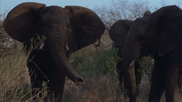 Four elephants walk among the trees and brush on the African Savannah.