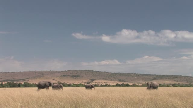 four elephants walk in savannah grass, masai mara np, kenya  - vier tiere stock-videos und b-roll-filmmaterial