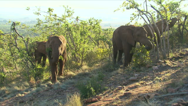 vídeos de stock e filmes b-roll de ms pan four elephants walking and eating from trees / etosha national park, kunene, namibia - nariz de animal