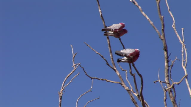 vidéos et rushes de ms la four galahs (eolophus roseicapilla) perching on bare tree top against clear sky at mt. dare station in simpson desert. - bare tree