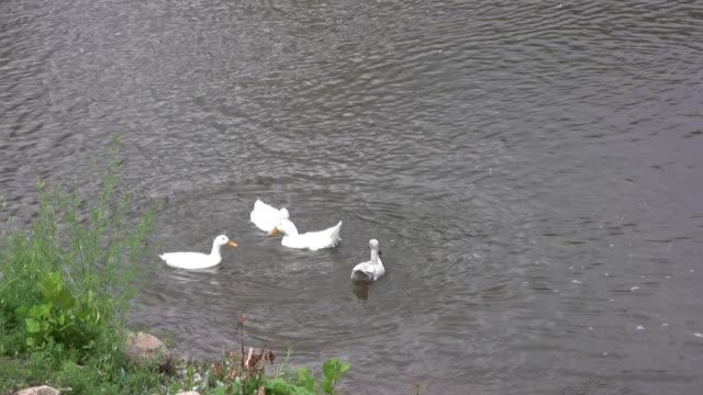 stockvideo's en b-roll-footage met four geese hunt for food an fly away - adn