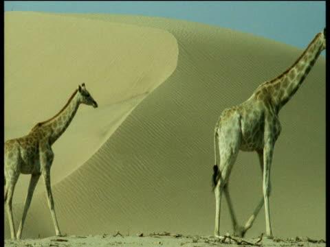vídeos y material grabado en eventos de stock de four giraffe walk past sand dune, last one in line defaecates, namibia - cuello de animal