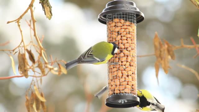 vídeos y material grabado en eventos de stock de cuatro grandes tits en una mesa de pájaro - baño para pájaros