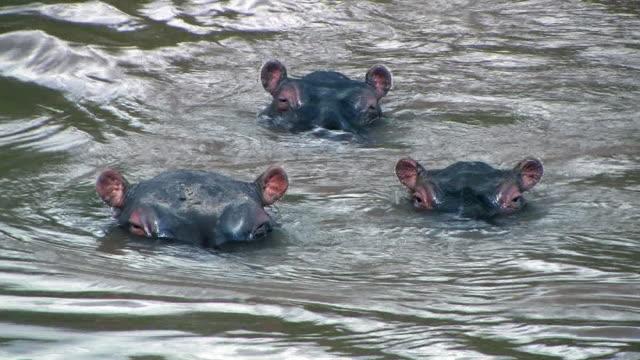 vídeos y material grabado en eventos de stock de cu, four hippopotamus (hippopotamus amphibius) swimming in water, masai mara, kenya - salir del agua