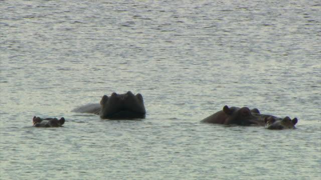 ms four hippos sitting in water / limpopo, south africa - liten djurflock bildbanksvideor och videomaterial från bakom kulisserna