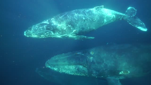 vidéos et rushes de four humpback whales swim past the camera during their annual migration north along the east coast of south africa to the warmer waters of mozambique. - groupe de mammifères marins