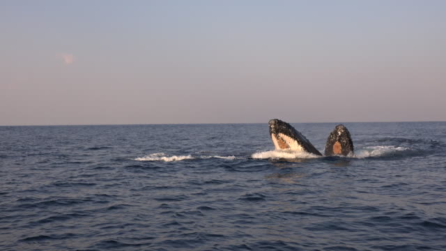 vídeos de stock e filmes b-roll de four humpback whales travelling in the early morning with two of them spy hopping to look at the camera. footage taken during the annual migration of these whales north along the east coast of south africa to warmer waters during the winter months. - salto de baleia
