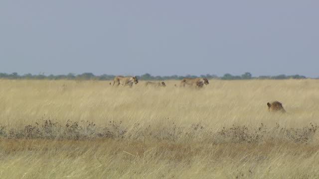 ms ts four lions walking in field / limpopo, south africa - liten djurflock bildbanksvideor och videomaterial från bakom kulisserna