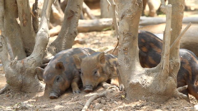 four little pigs - animal family stock videos and b-roll footage