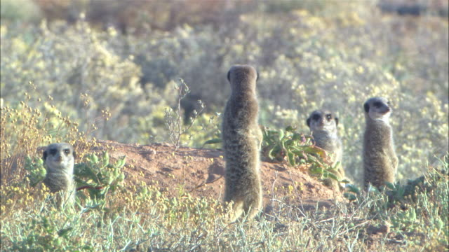 ms, four meerkats standing on burrow in grass, and looking around, south africa - vier tiere stock-videos und b-roll-filmmaterial