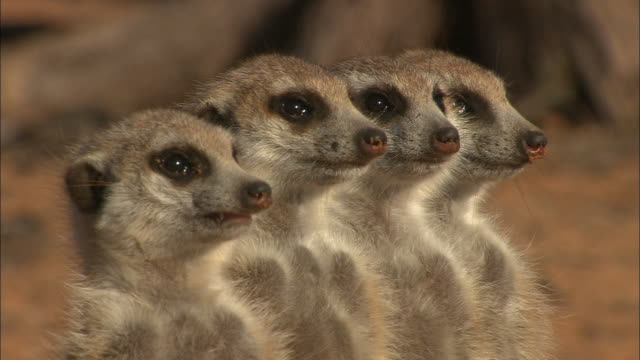 cu, td, four meerkats standing on hind legs and looking around, south africa - meerkat stock videos & royalty-free footage
