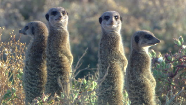cu, four meerkats standing on hind legs in grass and looking around, south africa - four animals stock videos & royalty-free footage