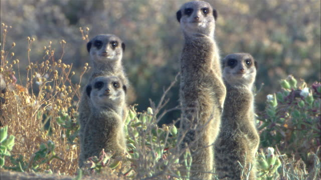 cu, four meerkats standing on hind legs in grass and looking around, south africa - vier tiere stock-videos und b-roll-filmmaterial