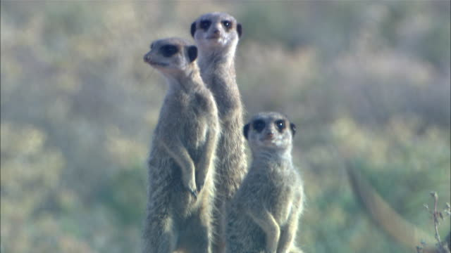 CU, Four meerkats walking and standing on hind legs, South Africa