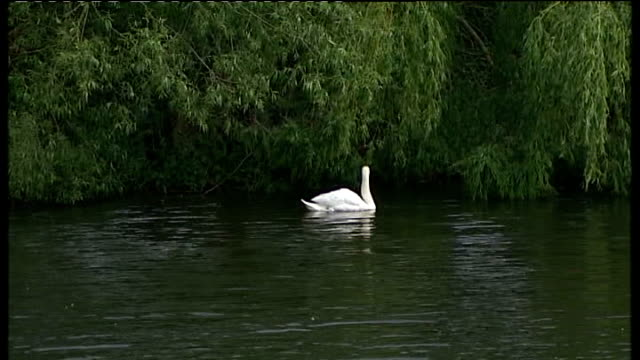 vídeos de stock, filmes e b-roll de four members of paedophile ring plead guilty to offences england lincolnshire martin dales ext mute swan along under weeping willow trees over pond... - árvore de folha caduca