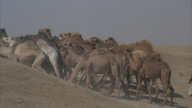 ms, pan, four men leading herd of camels through desert - herbivorous stock videos & royalty-free footage