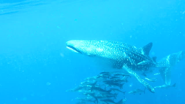 A four meter baby Whale Shark (Rhincodon types) approaches the camera, mouth open. The location is the Andaman Sea, Krabi, Thailand. This is a classic display of primal instinctive animal behavior. Filter feeding Plankton that ensures their survival.
