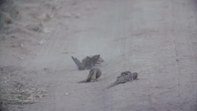 vídeos de stock, filmes e b-roll de four oxpeckers dust bathe on the ground and cover themselves in dirt, kruger national park, south africa - grupo pequeno de animais