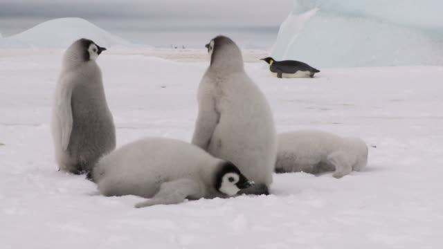 four penguin chicks eating snow - sliding stock videos & royalty-free footage