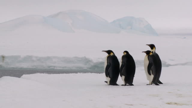 four penguins waiting and watching - antarctica iceberg stock videos & royalty-free footage