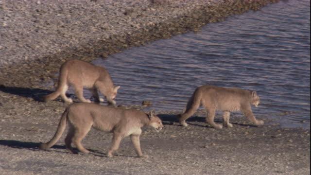 vídeos y material grabado en eventos de stock de four pumas approach a lake to drink. available in hd. - puma