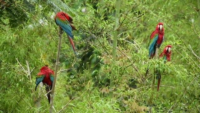 fyra röda-och-grön aror uppflugen i bambu - ara bildbanksvideor och videomaterial från bakom kulisserna