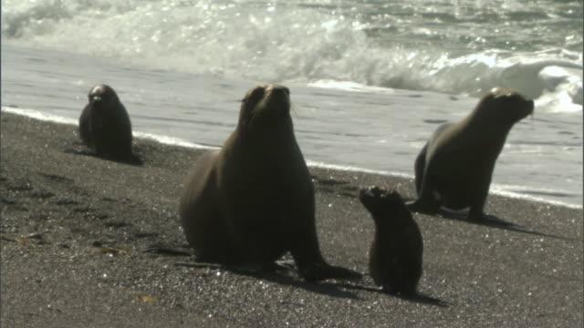 stockvideo's en b-roll-footage met ms pan four seals walking across beach at water's edge in peninsula valdes / puerto madryn, chubut, argentina - kleine groep dieren