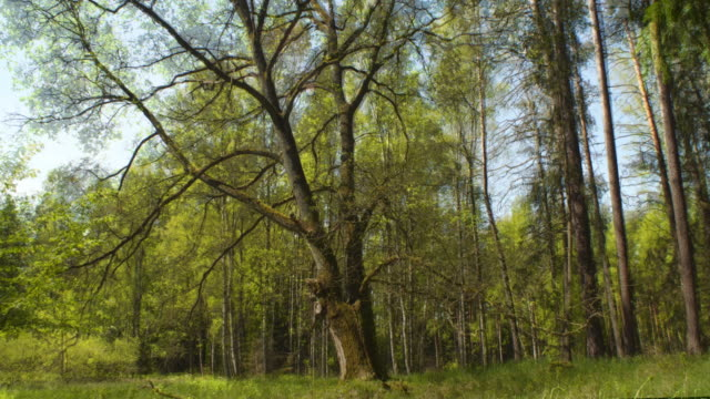four seasons - oak in the forest - le quattro stagioni video stock e b–roll