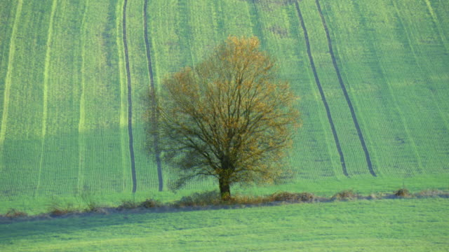 four seasons sequence, solitary willow tree in rural landscape between rolling hills