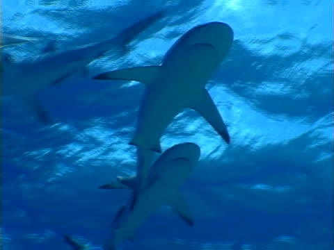 four sharks - grey reef shark stock videos & royalty-free footage