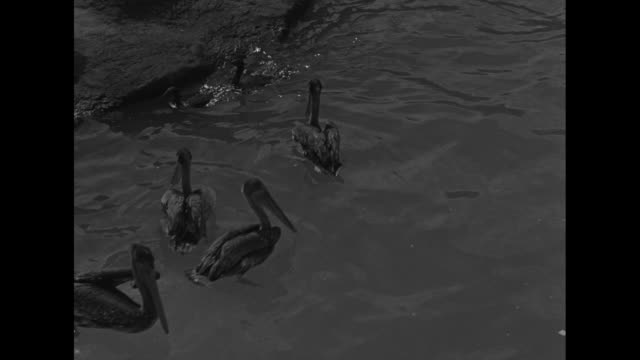 vídeos de stock, filmes e b-roll de four shots of pelicans swimming around in pool crowd watching / men standing of edge of pool release seal and seagulls from cages into water seagulls... - boca animal
