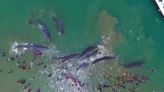 four sperm whales stranded on a beach in indonesia have died despite frantic efforts to push the massive mammals back into the sea - sperm whale stock videos & royalty-free footage