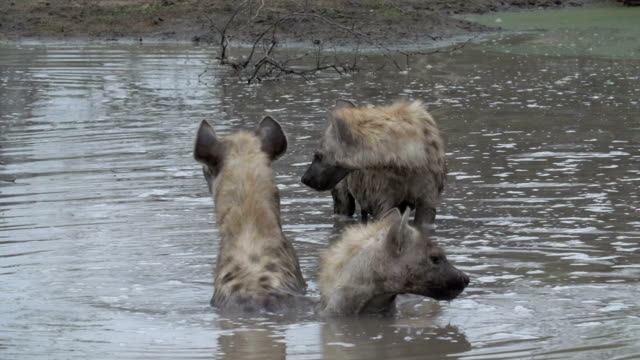 ws of four spotted hyenas wading in a muddy pan of water to cool off, kruger national park, south africa - mpumalanga province stock videos and b-roll footage