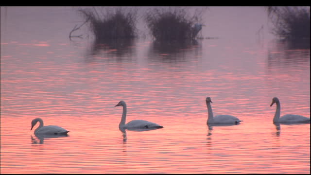four swans on rippling water of lake at sunset, izunuma, miyagi prefecture, japan\n - swan stock videos and b-roll footage