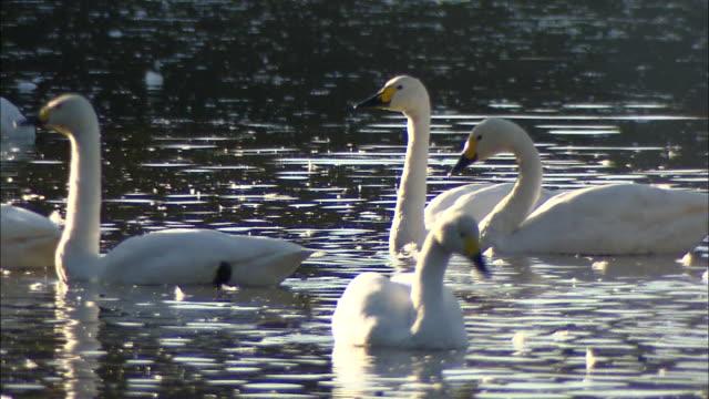 four tundra swans (cygnus columbianus) grooming themselves on oyama shimo-ike pond - water bird stock videos & royalty-free footage